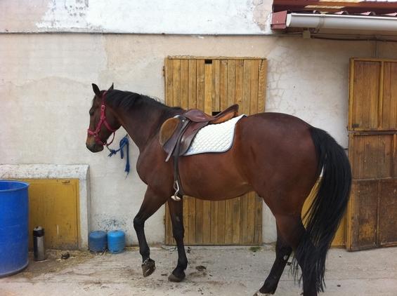 Extraordinario silla frances en venta en comunidad de madrid venta de caballos - Caballo silla frances ...