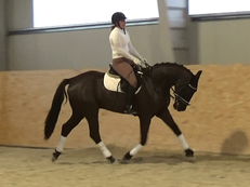 Amazing black gelding for sale !