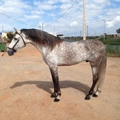 PRE ELITE/ Andalusian Horse