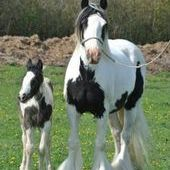 Yeguas, Caballos, Potro/as IRISH COB
