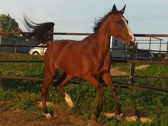Yegua anglo arabe silla frances en venta en catalu a venta de caballos - Caballo silla frances ...