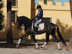 5 yo JET BLACK PRE, RIDEN BY CHILD, EXCELLENT CHARACTER, IDEAL FAMILY AND PLEASURE HORSE