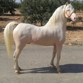 ESPECTACULAR PONY ALBINO