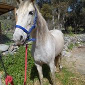 Yegua PRE Y Hija-(2x caballos)