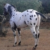 Semental Appaloosa ApHC