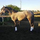 Very atractive pure spanish horse,