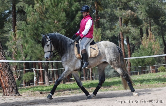 6 yo GELDING PRE, PURE CARTUJANO, VERY NICE LOOK, BAROQUE, EXCELLENT CHARACTER, RIDEN BY CHILD