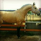 Venta de caballo lusitano