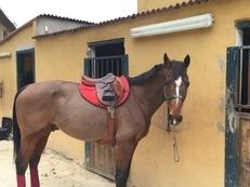Venta de silla franc s caballos venta de caballos - Caballo silla frances ...