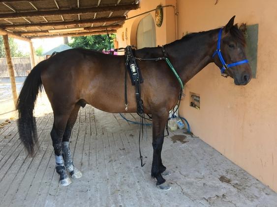 Caballo troton frances en venta en islas baleares venta de caballos - Caballo silla frances ...