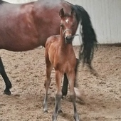 Colt for dressage and breeding