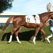 ACORAZADO POTEMKIN (SPA), magnífico caballo PSI, 4 años, EN VENTA